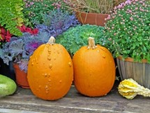 two pumpkins with flowers behind them