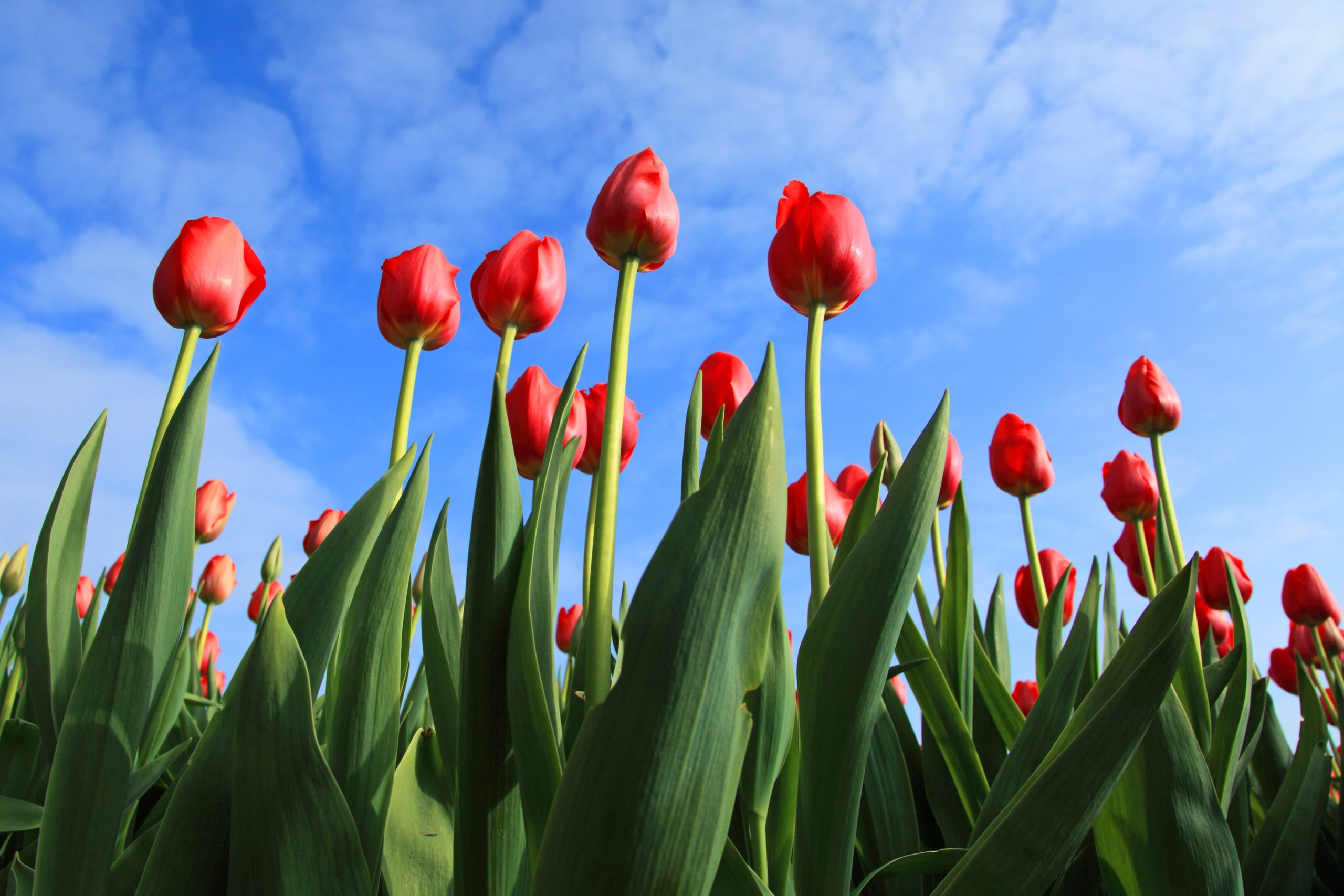 tulips with the blue sky in the background